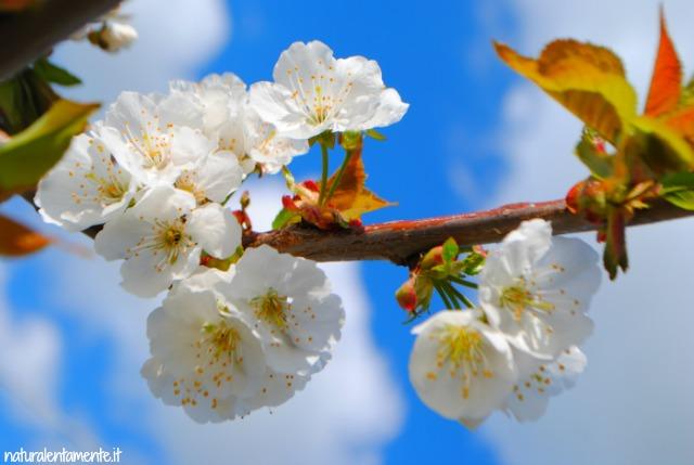 sul tempo che passa  fiori di ciliegio