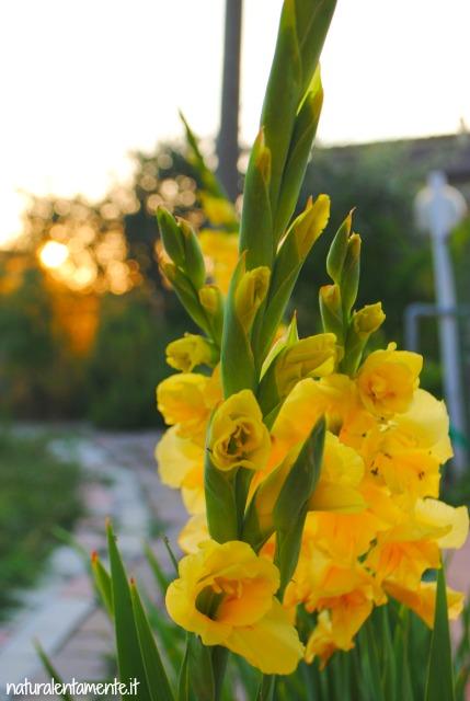 17 decrescita - gladioli