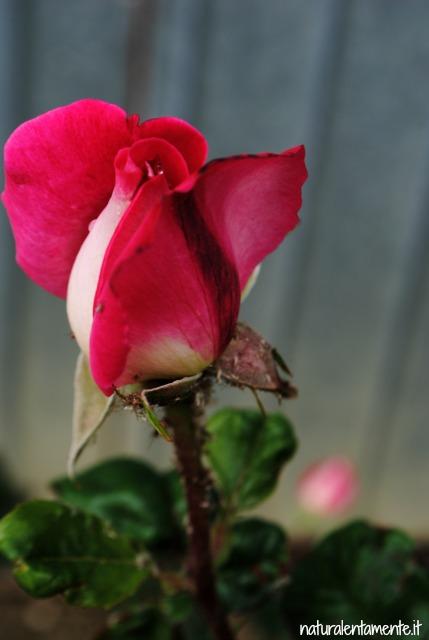 11 decrescita - bocciolo rosa