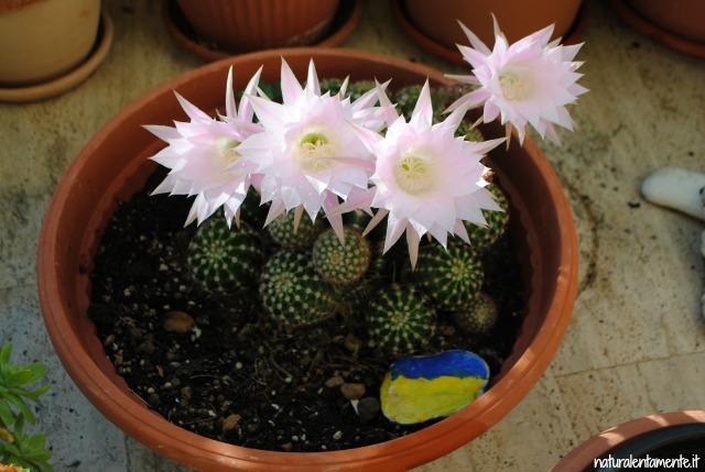 14 decrescita - fioritura cactus