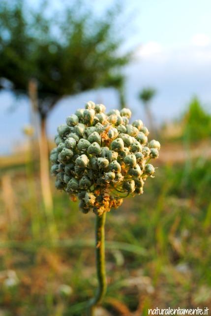 19 decrescita - fiore di cipolla
