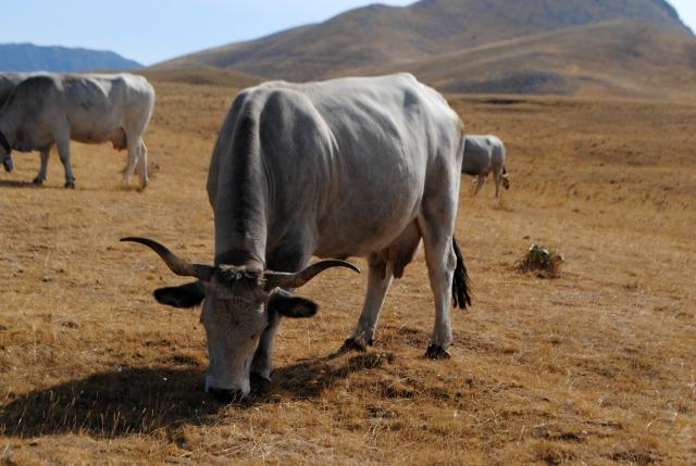 mucca campo imperatore